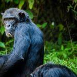 野生のチンパンジーは日本にいるのか?野生のチンパンジーについて
