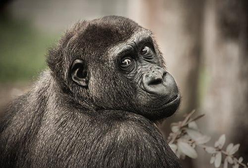 チンパンジー 人間 祖先 分岐