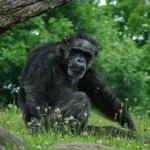 野生のチンパンジー寿命は?何年なの?