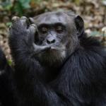 チンパンジーの年齢は人間と同じ?チンパンジーの年齢について!
