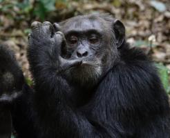 チンパンジー 年齢 人間