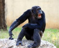 チンパンジー 年齢 危険 乱暴