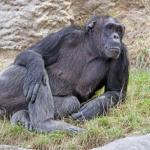 チンパンジーの脳!容量は?