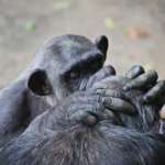チンパンジーが行っている「グルーミング」!意味は?