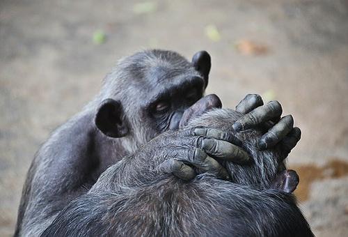 チンパンジー グルーミング 意味
