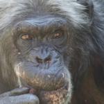 チンパンジーと人間は似てる!共通点とは?