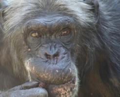 チンパンジー 人間 似てる 共通点