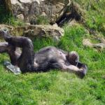 臭い!汚い!お尻から分かるチンパンジーの意外な真実とは?