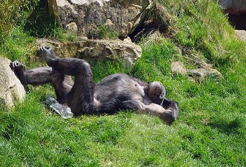 チンパンジー 尻 臭い 汚い