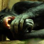動物園にいるチンパンジーも危険なの?野生の恐ろしさは?