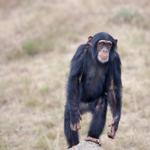 チンパンジーと人間の骨格を比較!似ている点は?違う点は?