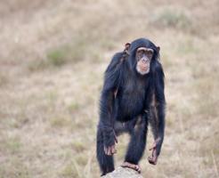 チンパンジー 人間 骨格