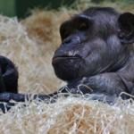 チンパンジーとボノボ!比較すると、どんな違いが分かるの?