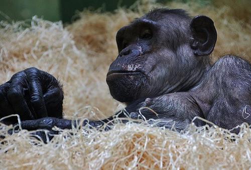 チンパンジー ボノボ 違い
