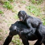 チンパンジーの妊娠期間は?どんな子育てをしているの?