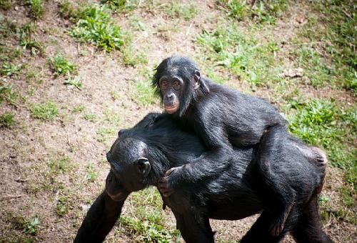 チンパンジ ー 妊娠期間 子育て