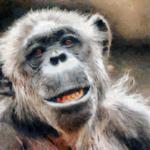 チンパンジーの威嚇行動!いったい何が分かるの?