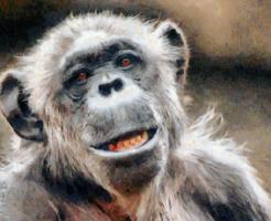 チンパンジー 威嚇 行動