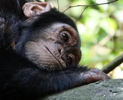 チンパンジー 飼う 方法