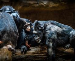 チンパンジー 群れ オス メス 争い