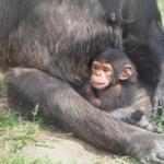 チンパンジーの赤ちゃん!平均身長、体重、寿命は?