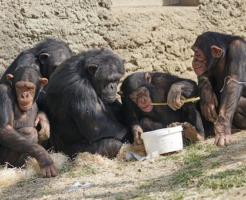 チンパンジー 鳴き声 意味
