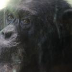 知る人が少ない!チンパンジーのオスとメスの習性とは?