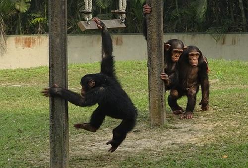 チンパンジー 二足歩行 理由