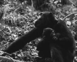 チンパンジー 子育て オス