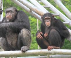 チンパンジー 血液型 性格