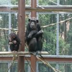 「出産」と「おしり」!チンパンジーの信じられない話!
