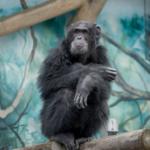 糞を投げるチンパンジー!なにか理由は見られるの?