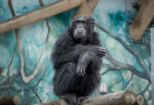 チンパンジー 糞 投げる 理由