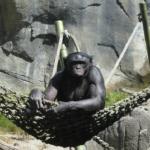 チンパンジーの値段はいくら?ペットとして飼えるのか?