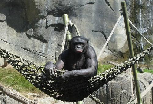 チンパンジー ペット 値段