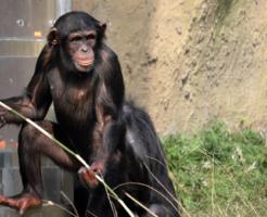 チンパンジー 道具 作る