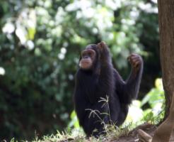 チンパンジー 豚 人間
