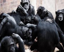 チンパンジー 交配 時間 回数 方法