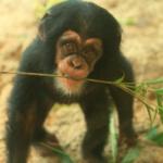 子どものチンパンジーで脳比べ!子どもを食べる個体がいるの?