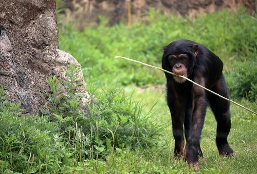 チンパンジー 狩り 道具