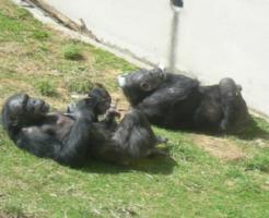 チンパンジー 顔 黒
