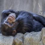 チンパンジーとヒト!脳と筋肉とDNAの違いは?