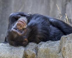 チンパンジー ヒト 違い 脳 筋肉 DNA