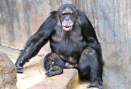 チンパンジー ゴリラ 猿 違い 強さ 知能