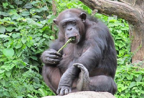 チンパンジー 野生 食べ物