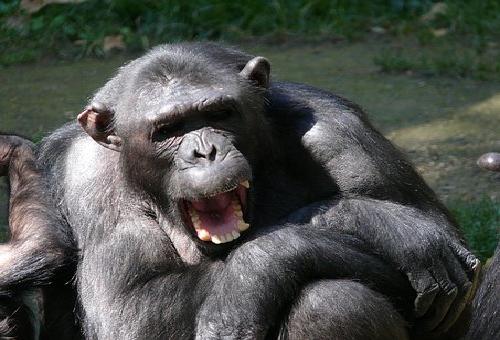 チンパンジー 乱暴 理由
