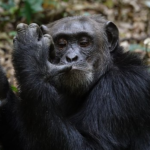 チンパンジーの手と足の特徴!ヒトとの違いとは?