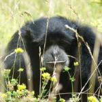 チンパンジーが共食いをしてしまう!理由とは?