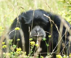 チンパンジー 共食い 理由