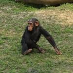 チンパンジーは人間だと何歳並の知能?知能は高い?低い?